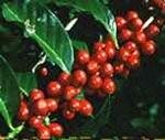 cafefrutagrande